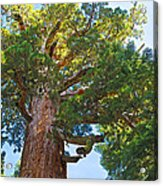 Grizzly Giant Sequoia Top In Mariposa Grove In Yosemite National Park-california    Acrylic Print
