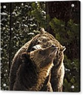 Grizzly Love Acrylic Print