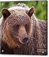 Grizzly Portrait Acrylic Print