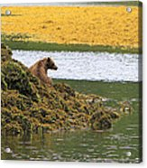 Grizzly Relaxing Acrylic Print