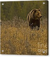 Grizzly Sow And Cub   #6365 Acrylic Print