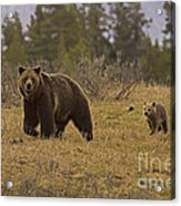 Grizzly Sow And Cub  #6382 Acrylic Print