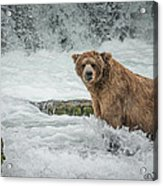 Grizzly Stare Acrylic Print
