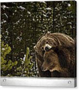 Grizzly's Courting Acrylic Print