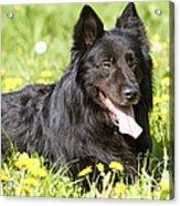 Groenendael Dog Acrylic Print