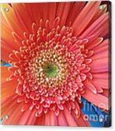 Groovy Gorgeous Gerber Acrylic Print