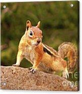Ground Squirrel Acrylic Print