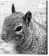 Ground Squirrel With Sandy Nose Acrylic Print