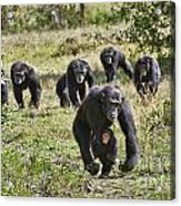 group of Common Chimpanzees running Acrylic Print