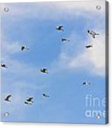 Group Of Egrets Flying Acrylic Print