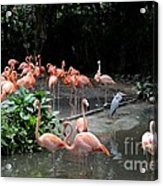 Group Of Flamingos And Lone Heron In Water Acrylic Print