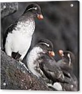 Group Of Parakeet Auklets, St. Paul Acrylic Print