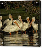 Group Of White Pelicans Acrylic Print