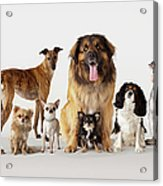Group Portrait Of Dogs Acrylic Print