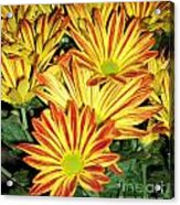 Grouping Of Gerbera Acrylic Print
