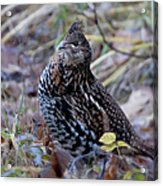 Grouse Acrylic Print