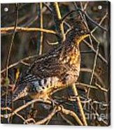 Grouse In A Tree Acrylic Print