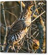 Grouse In An Apple Tree Acrylic Print