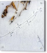 Grouse Tracks Acrylic Print