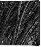 Grove Of Trees In Muir Woods Acrylic Print
