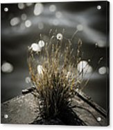 Growing Out Of Nothing Acrylic Print