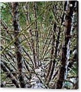 Growing Pine Acrylic Print