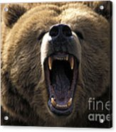 Growling Grizzly Bear Acrylic Print by Mark Newman