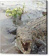 Grumpy Crocodile  Acrylic Print