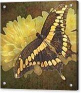 Grunge Giant Swallowtail-1 Acrylic Print