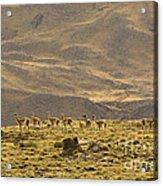 Guanaco Herd, Argentina Acrylic Print