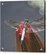 Guard Dragonfly... Acrylic Print