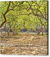 Guava Garden In Autumn Acrylic Print