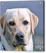 Guide Dog In Training Acrylic Print
