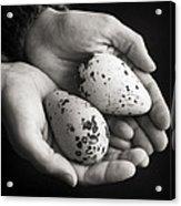 Guillemot Eggs Black And White Acrylic Print