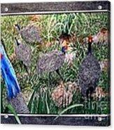 Guinea Fowl In Guinea Grass Acrylic Print