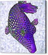 Guinea Fowl Puffer Fish In Purple Acrylic Print
