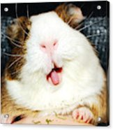 Guinea pig crazy happy tongue action Acrylic Print