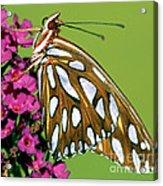 Gulf Fritillary Butterfly Agraulis Acrylic Print