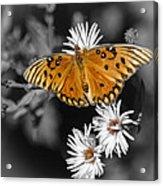 Gulf Fritillary Butterfly Acrylic Print