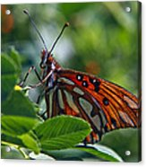 Gulf Fritillary Butterfly Close Up Acrylic Print