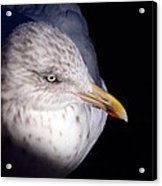 Gull #2 Acrylic Print