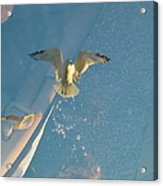 Gull Catching Popcorn Acrylic Print