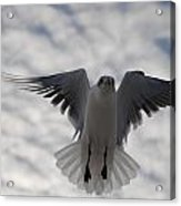 Gull From Below Acrylic Print