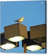 Gull On Guard Acrylic Print