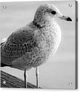 Gull On The Pier 2 Acrylic Print