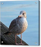 Gull On The Pier Acrylic Print