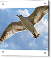 Gull - Out Of Bounds Acrylic Print