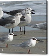 Gulls And Terns Acrylic Print