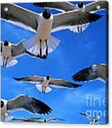 Gulls In Flight Acrylic Print