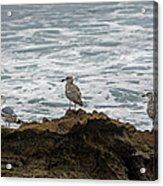 Gulls Podium  Acrylic Print